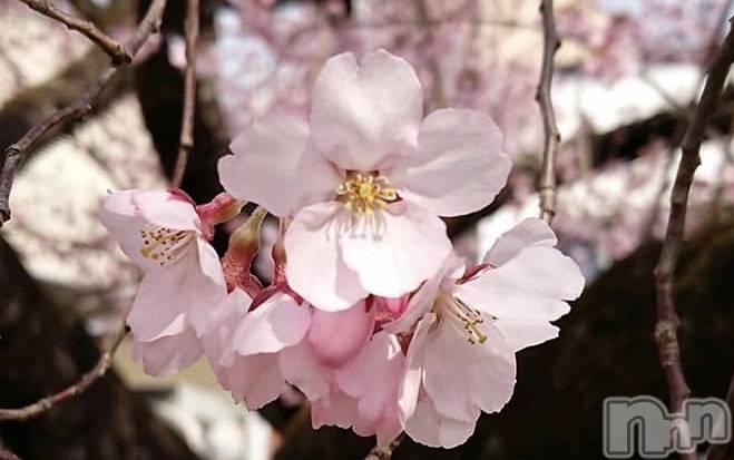 伊那デリヘルピーチガール あき(18)の4月14日写メブログ「桜♡」