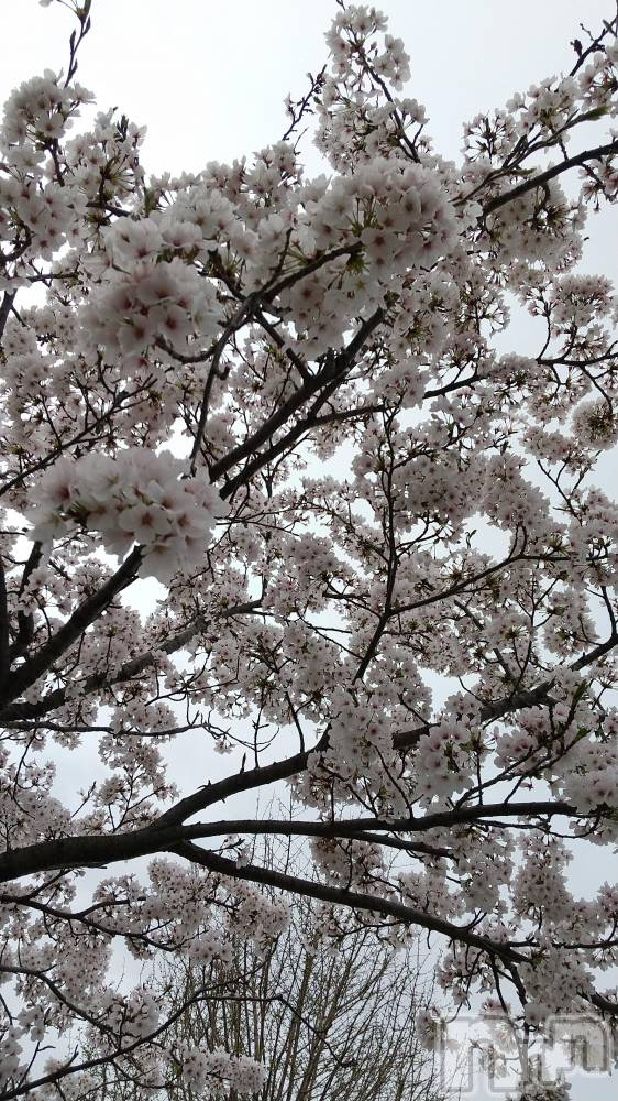 上越メンズエステ地元嬢と遊べる上越初のハイブリッドエステ花椿×ヘヴン(ジモトジョウトアソベルジョウエツハツノハイブリッドエステハナツバキ×ヘヴン) あいみ(34)の4月4日写メブログ「桜🌸散らないで(。・´_`・。)」