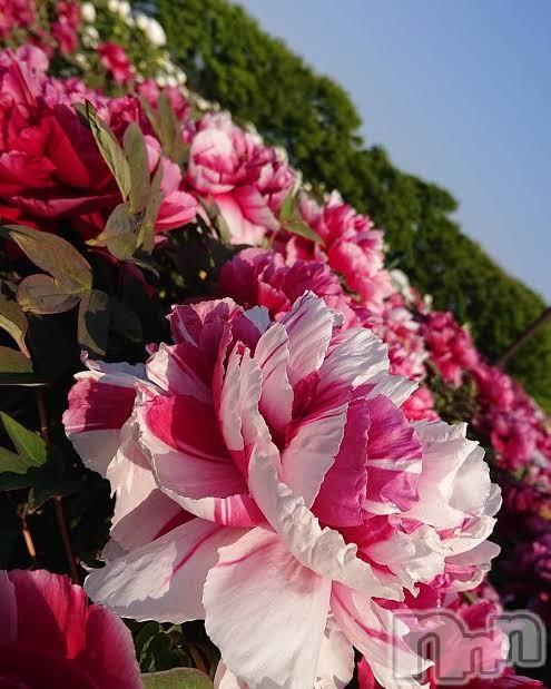 新潟メンズエステ撫妻(ナデツマ) 穂乃花ーほのか(39)の2021年5月4日写メブログ「五泉の牡丹園♪」