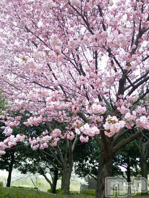 新潟メンズエステ新潟風俗出張アロママッサージ(ニイガタフウゾクシュッチョウアロママッサージ) 完熟しずな★様(46)の4月17日写メブログ「桜はピンクがいいな~」