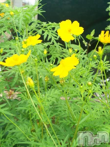 新潟駅前メンズエステoneness(ワンネス) 深田 しおりの8月22日写メブログ「黄色のコスモス」