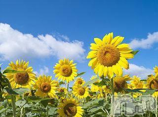 松本デリヘルPrecede(プリシード) つゆき(50)の8月12日写メブログ「『夏の風物詩』」