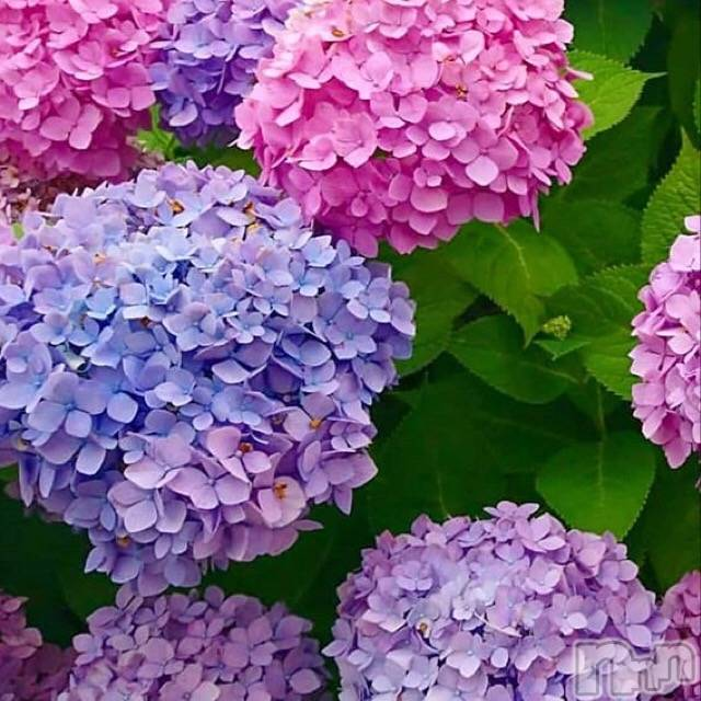 新潟ソープアラビアンナイト ちなつ(24)の6月10日写メブログ「*紫陽花*」